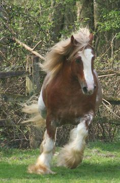 Gypsy Cob Horse - Named 'Wren Boy' - from Clononeen Farm