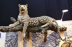 Breathtaking leopard trophy seen during Polish Hunting Fairs - Hubertus EXPO 2015. Hunt beautiful beasts of the wild with us!
