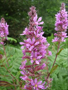 Purple Loosestrife - Lythrum salicaria by Peter Herring, via Flickr
