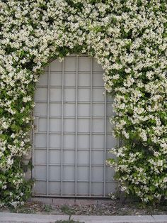 Trachelospermum jasminoides | Star jasmine  Would be cool to make an archway entrance over the long driveway to back yard.