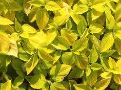 Coleus - For more info: http://www.gardeningknowhow.com/ornamental/foliage/coleus/coleus-plant-care.htm