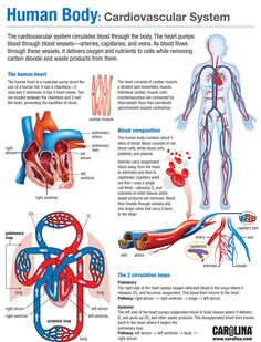 Nurse Discover Human Body: Cardiovascular System Infographic - Exploring Monocots and Dicots Human Body Anatomy, Human Anatomy And Physiology, Human Body Muscles, Human Body Facts, Nursing School Notes, Medical Laboratory Science, Human Body Systems, Medical Anatomy, Medical Facts
