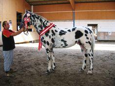 Knabstrupper Stallion Upal von Norholm