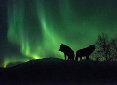 Tommy Simonsen @tommysimonsenphotography using the Fujifilm X-T2 and XF16-55mm F2.8 lens - Getting two artic wolf and an aurora in the same shot is something only a few of us will do in their lifetime. Tommy described it as a Dont forget to breathe moment. He had his XF16-55mm lens mounted and took a few images that ended up blurry in this one the wolves didnt moved and he got the money shot. Moments like these are why we love photography. Make sure to give his gallery a look youll be…