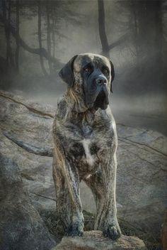 The Mastiff by Fran J Scott Brindle Mastiff, Mastiff Dogs, Black Lab Puppies, Dogs And Puppies, Corgi Puppies, Doggies, English Mastiff Dog, Huge Dogs, Dog Grooming Business