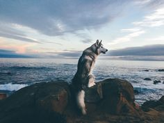 A low content wolfdog (husky, arctic wolf, malamute), living in Colorado where the adventures never end.