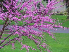 I love my redbud tree.