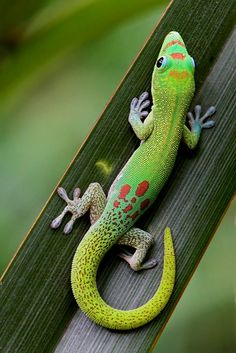 rx online I once owned a Day Gecko like this one. They are very fun to watch with their vi… I once owned a Day Gecko like this one. They are very fun to watch with their vibrient colors and… Continue Reading → Les Reptiles, Cute Reptiles, Reptiles And Amphibians, Mammals, Nature Animals, Animals And Pets, Cute Animals, Beautiful Creatures, Animals Beautiful