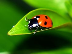 How to Raise Ladybugs for your garden.