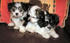 my dream puppy for my dream home....angel doll puppies
