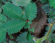 touch-me-not (mimosa leaf) - Thailand Multiplier Des Plantes Grasses, Mimosa Pudica, Contemporary Garden, Plant Leaves, Exterior, Thailand, Gardening, Culture, Gardens