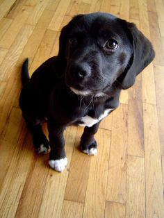 Labrador - beagle mix - want!! https://c2.staticflickr.com/2/1135/535072354_b20812277f_b.jpg