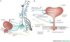 The neural control of micturition