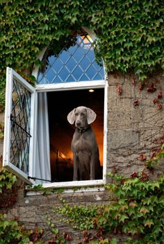 A worried Weimaraner waits.