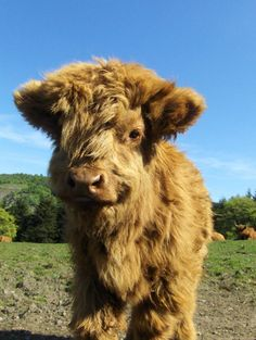 Baby highland cow. Just kill me right now. seriously......kill me. I wanna cuddle it!!