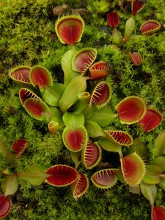 Dionaea m. 'Cupped Trap' Venus Fly Trap