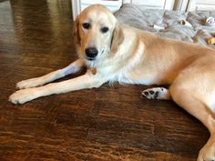Breed: Golden Retriever Mix Gender: Female Age: 11 months Medical/Other Notes: * TBD Golden Retriever Mix, Labrador Retriever, Dogs, Animals, Labrador Retrievers, Animales, Animaux, Pet Dogs, Doggies