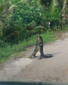 Two Florida Gators - Dancing to their own tune :)