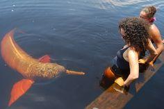 Pesquisadores descobriram uma população de botos-vermelhos híbridos na região do rio Madeira, que banha os Estados de Rondônia e do Amazonas