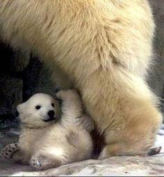 """See my foot?"" cute baby polar bear"