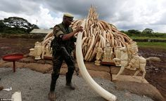 Africa is home to between 450,000 to 500,000 elephants, but more than 30,000 are killed every year on the continent to satisfy demand for ivory in Asia, where raw tusks sell for more than £680 ($1,000) a kilo