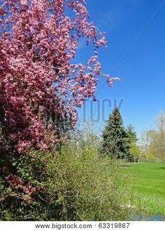 A blooming crab apple tree takes center stage in a city park located in Boise, Idaho. ©Photo copyright by Marty Nelson. Photographer website: http://www.bigstockphoto.com/search/?start=150&contributor=Marty+Nelson+Photo+Art&safesearch=n