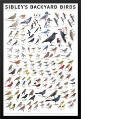 "Illustrator: David Allen Sibley Publisher: Scott & Nix, Inc. Size: 24 × 36""   Sibley's first wall poster ""field guide"" for every backyard birder Beginning with"