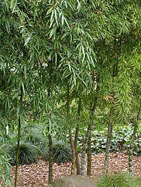 Phyllostachys pubescens, Mossô