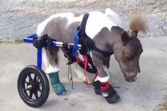 tiny miniature pony | Video: Tiny disabled horse gets tiny wheelchair, causes big tears ...