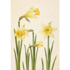 Daffodil, Jacques Le Moyne at British Museum shop online