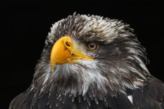 Young Bald Eagle by Liz Lück - Pixdaus