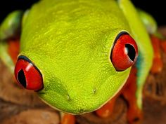 The red-eyed tree frog is an icon of the Central American rain forest. When asleep, it's green color provides effective camouflage. When threatened, the red of suddenly-exposed eyes or legs may startle predators and enable an escape. Female frogs lay eggs on leaves overhanging water so that their tadpoles will fall into ponds. The tadpoles feed on insects in the water until they develop into frogs and take to the trees.