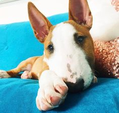 Mini Bull Terriers, English Bull Terriers, Really Cute Dogs, I Love Dogs, Puppies And Kitties, Cute Puppies, Doggies, Best Dog Breeds, Best Dogs