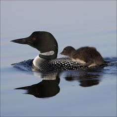 The Minnesota State Bird, the Loon, can be found on most lakes throughout the state. They have the most amazing & unique call, so soothing on a cool, summer evening sitting around a campfire! Baby Animals, Cute Animals, Animal Babies, Unique Animals, Minnesota Home, Happy Canada Day, State Birds, Beautiful Birds, Beautiful Creatures