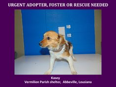 ***SUPER SUPER URGENT!!!*** - PLEASE SAVE KASEY!! - EU DATE: 3/26/2015 -- Kasey Breed:Dachshund (mix breed) Age: Young adult Gender: Female Size: Small Location: Kaplan, LA  Read more at http://www.dogsindanger.com/dog/1426730854767#J8vJo1MGRzzrkPZ2.99 - If you have any questions please contact us at animalaidvermilion@gmail.com or (337) 366-0212 or visit our website animalaidvermilionarea.com for more information Read more at http://www.dogsindanger.com/dog/1426730854767#J8vJo1MGRzzrkPZ2.99