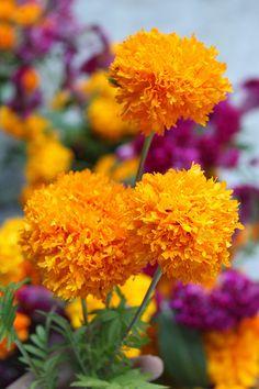 Cempazuchitl, Cempoalxochitl. Flores que se usan para las ofrendas del dia del los muertos.