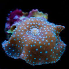 Blue Lava Lamp Discosoma mushroom