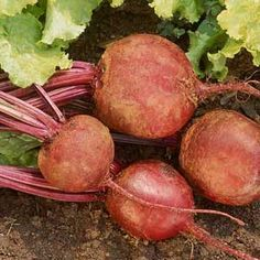 Beets: A Growing Guide | From Organic Gardening