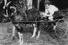 Alan Reid is sitting in a small cart being pulled by a goat. The goat 'Bluey' was the winner of the billy goat race.