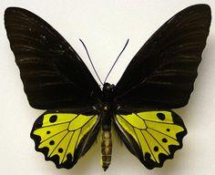 TROIDES HELENA NEREIDES - male  (loc.: Bawean)  (coll. and photo: © Mike J. Howlett, UK)