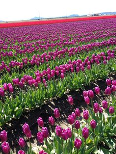 See the beautiful tulip fields in the spring!