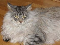 Maine Coon Cat - Norway. Maine coon hannkatt, Spellbounds Daljinder (1 år) http://mainecoons.no/english/index.html