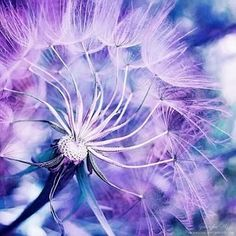 ...dandelion in lavender light...lovely :)