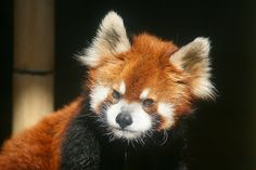 Or angry. | Animals March Madness, Round One: Chameleons Vs. Red Pandas
