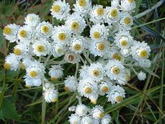 Pearly Everlastings (anaphalis margaritacea): Anaphalis margaritacea, commonly known as the western pearly everlasting or pearly everlasting, is an Asian and North American species of flowering perennial plant in the sunflower family. It is widespread across most of the United States and Canada, as well as northwestern Mexico. Asian populations are found in China, the Russian Far East, Japan, Korea, northern Indochina, and the Himalayas. The species is reportedly naturalized in Europe though…