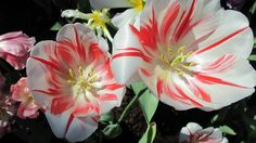 WpNature.com - Flowers Blooms Garden White Photography Tulips Green Red Yellow Flower Wallpaper In Hd Download