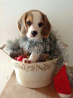 Christmas Beagle #beagle