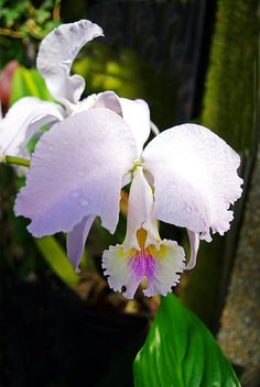 Veraflora Orchid