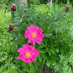 Peonies in bloom Anniversary Getaways, Clark Art, Tangled, Peonies, Bloom, Boutique, Birthday, Plants, House