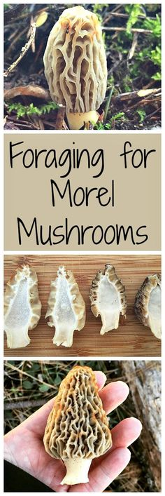 Learn how to forage for tasty morel mushrooms!